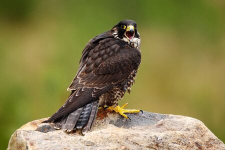 peregrine: Peregrine Falcon, Falco peregrinus, bird of prey sitting on the stone with green forest background, nature habitat, France