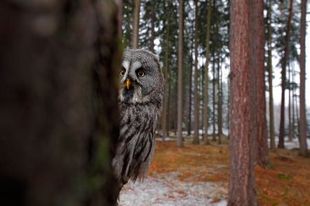 wide angle lens: Magic bird Great Gray Owl, Strix nebulosa, hidden of tree trunk with spruce tree forest in backgrond, wide angle lens photo