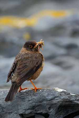 youngs: Falkland Thrush, Turdus falcklandii falcklandii, brawn bird with food for youngs, sitting on the stone, animal in the nature habitat, nesting season, Falkland Islands Stock Photo