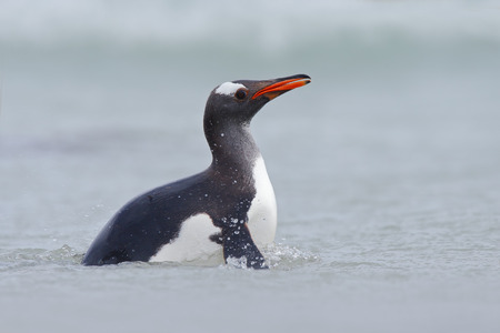 gentoo penguin: Gentoo penguin in the blue water, swimming through the ocean in Falkland Island
