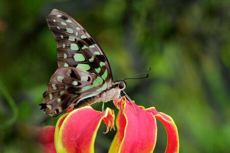 yellow tailed: Beautiful butterfly Tailed jay, Graphium agamemnon, sitting on red and yellow flower