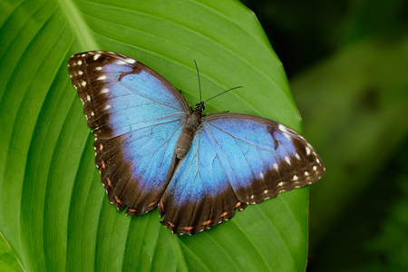 tropical flowers: Big Butterfly Blue Morpho, Morpho peleides, sitting on green leaves, Costa Rica Stock Photo
