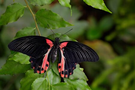 mormon: Beautiful black butterfly, Scarlet Mormon or Red Mormon, Papilio rumanzovia