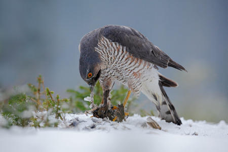 sparrowhawk: Eurasian sparrowhawk, Accipiter nisus, sitting on snow in the forest with catch little songbird