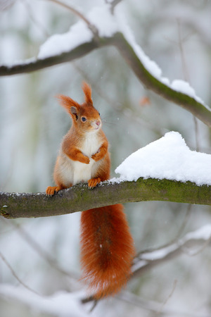 Cute red squirrel in winter scene with snow blurred forest in the background