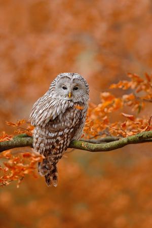 ural owl: Ural Owl, Strix uralensis, sitting on tree branch, at orange leaves oak forest