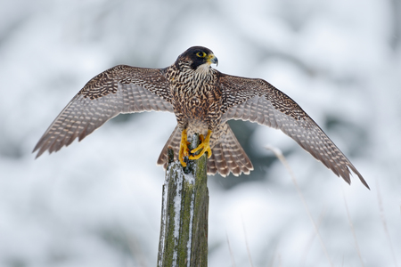 Peregrine Falcon, Bird of prey sitting on the tree trunk with open wings during winter with snow, Germany