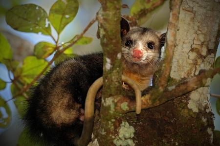 opossum: Common Opossum, Didelphis marsupialis, wild nature, Belize Stock Photo