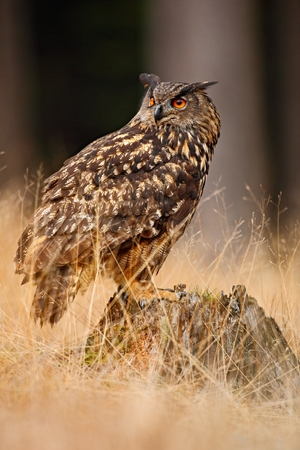 a large bird of prey: Big Eurasian Eagle Owl, bird sitting on the stump in dark forest with grass