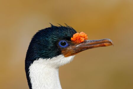 phalacrocorax atriceps: Detail portrait of Imperial Shag, Phalacrocorax atriceps, black and white cormorant with blue eyea from Falkland Islands Stock Photo