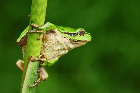 anura: Nice green amphibian European tree frog, Hyla arborea, sitting on grass with clear green background Stock Photo