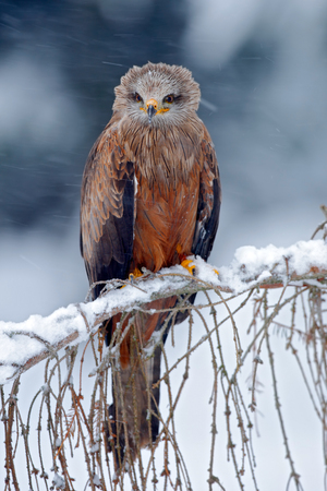 milvus: Red kite, Milvus milvus, sitting on the branch with snow winter Stock Photo