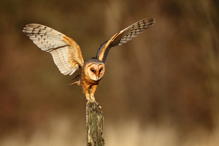 Barn owl landing with spread wings on tree stump at the evening