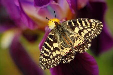 festoon: Nice Butterfly Southern Festoon, Zerynthia polyxena, sucking nectar from dark violet iris flower