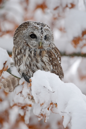 tawny owl: Eurasian Tawny Owl siting on the orange oak branch with snow