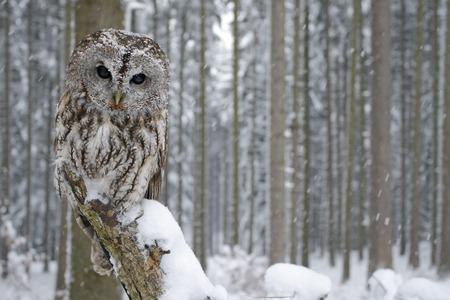 Tawny Owl couvert de neige dans les chutes de neige en hiver, forêt enneigée en arrière-plan, l'habitat de la nature