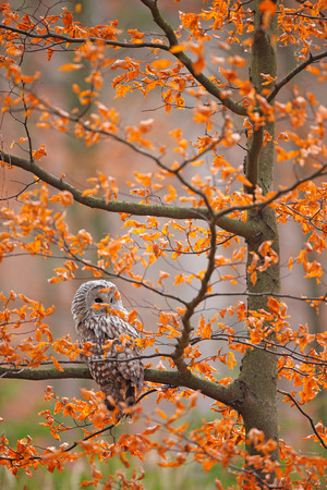 ural owl: Grey Ural Owl, Strix uralensis, sitting on tree branch, at orange leaves oak autumn forest, bird in the nature habitat, France Stock Photo