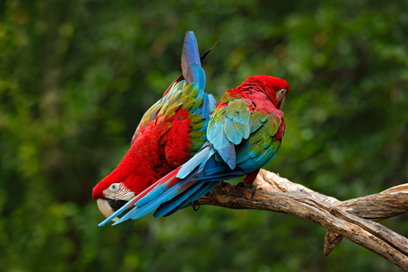 Pair of big parrot Red-and-green Macaw, Ara chloroptera, two birds sitting on the branch, Brazil