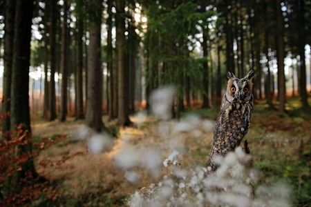 wide angle lens: Long-eared Owl in habitat - coniferous forest wit big tree, wide angle lens photo