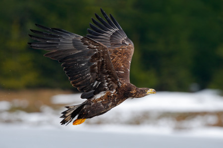 bird eating raptors: White-tailed eagle, Haliaeetus albicilla, flying bird of prey, snow in the forest habitat, starting from the ice