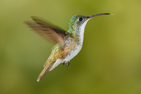 white necked: Flying glossy hummingbird from Ecuador, clear green background