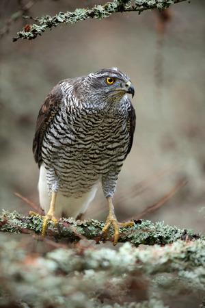 goshawk: Birds of prey Goshawk sitting on the branch in the forest