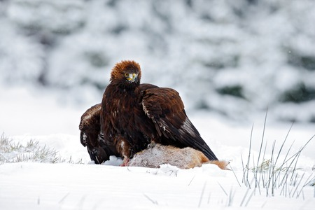 bird eating raptors: Golden Eagle with catch hare in snowy winter, snow in the forest habitat