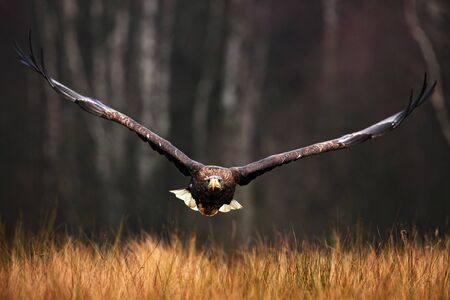 bird eating raptors: Face flight Haliaeetus albicilla White-tailed Eagle, birds of prey with forest in background Stock Photo