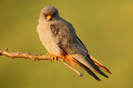 falconidae: Bird Red-footed Falcon, Falco vespertinus, sitting on branch with clear green background, Bulgaria