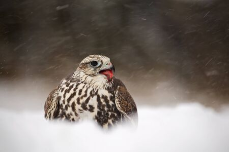 Bird of prey Lanner Falcon with snowflake in cold winter