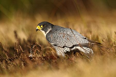 peregrine: Bird of prey Peregrine Falcon in heather meadow