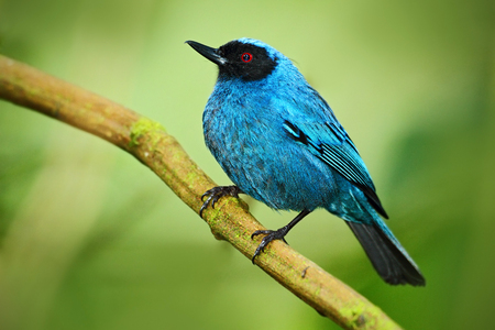 slaty: Masked Flower-piercer, Diglossa cyanea, blue tropic bird with black head, animal in the nature habitat, green background, Ecuador