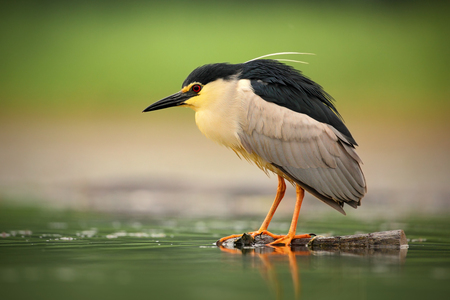 grey water: Night heron, Nycticorax nycticorax, grey water bird sitting in the water, Hungary Stock Photo