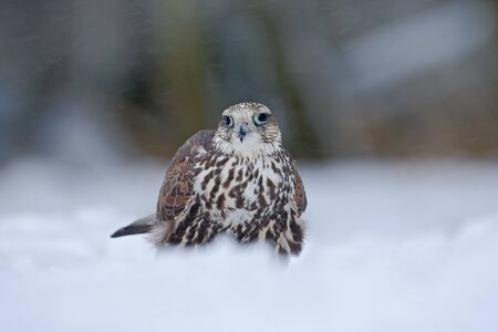 Lanner Falcon, bird of prey with snowflake in cold winter, snow in the forest Stock Photo