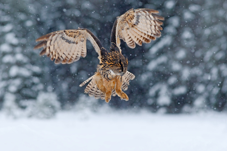 talons: Eurasian Eagle owl, flying bird with open wings with snow flake in snowy forest during cold winter, nature habitat, France