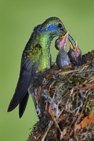 Adult hummingbird feeding two chicks in the nest, Green Violet-ear, Colibri thalassinus, Savegre, Costa Rica Stock Photo