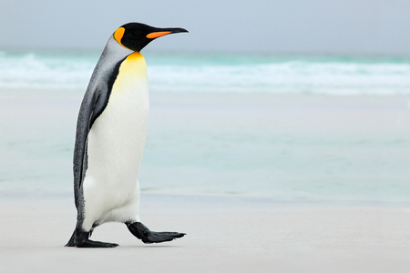 Grote pinguïn van de koning gaan naar blauw water, de Atlantische Oceaan in Falkland Island, zee vogel in de natuur leefgebied Stockfoto - 51632658