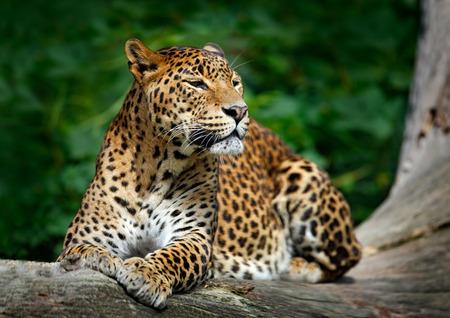 スリランカヒョウ、パンテーラ pardus 東風谷、大きな自然の生息地は、ヤーラ国立公園に、スリランカでツリーの横になっている猫を発見