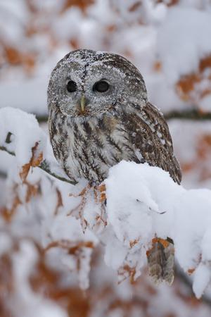 Europees-Aziatische Tawny Owl die op de oranje eiken tak met sneeuw situeren