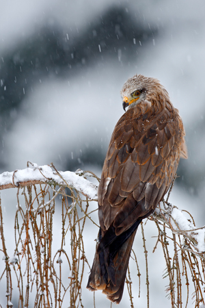 milvus: Bird of prey Red kite, Milvus milvus, sitting on the branch with snow winter