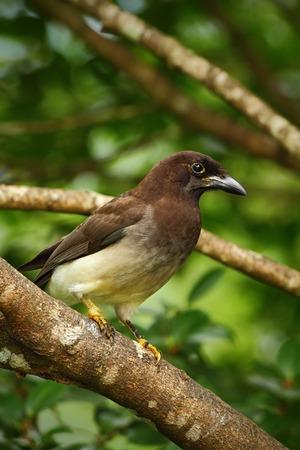 green jay: Jay marr�n, Cyanocorax morio, ave de color verde bosque de Costa Rica, en el h�bitat del �rbol