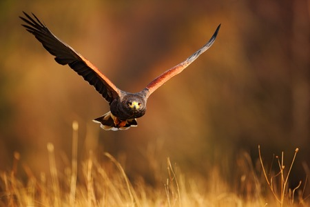 hawk: Flying bird of prey, Harris Hawk, Parabuteo unicinctus, in grass Stock Photo
