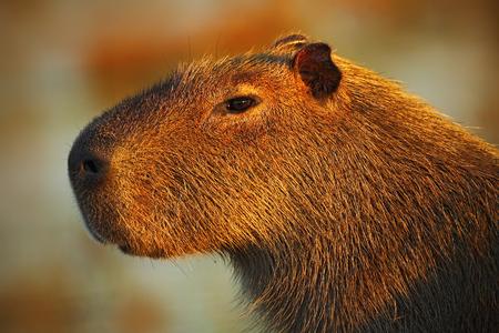 biggest: Portrait of biggest mouse around the world, Capybara, Hydrochoerus hydrochaeris, with evening light during sunset, Pantanal, Brazil