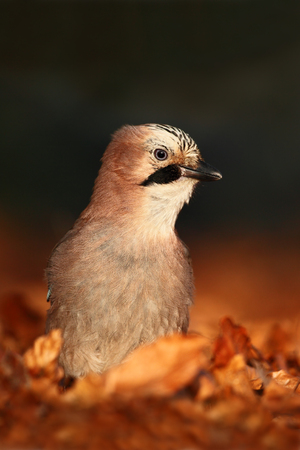 glandarius: Portrait of nice bird Eurasian Jay, Garrulus glandarius, with orange fall down leaves and morning sun during autumn
