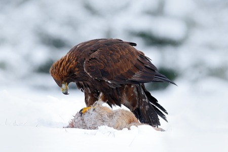 Golden Eagle, bird of prey with catch kill red fox in snowy winter, snow in the forest habitat, Norway
