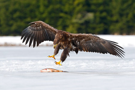 bird eating raptors: Golden Eagle with catch fish in snowy winter, snow in the forest habitat, landing on ice