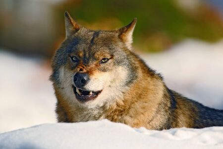 canis: Gray wolf, Canis lupus, portrait at white snow, Norway