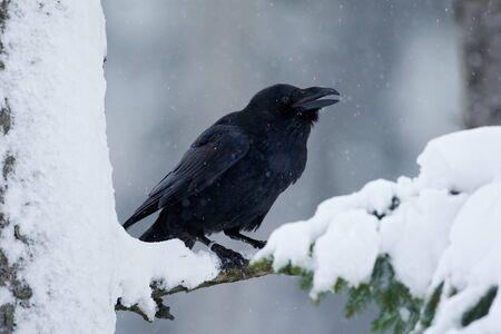 corvo imperiale: Raven, uccello nero che si siede sul legno della croce neve durante l'inverno, habitat naturale, Svezia Archivio Fotografico