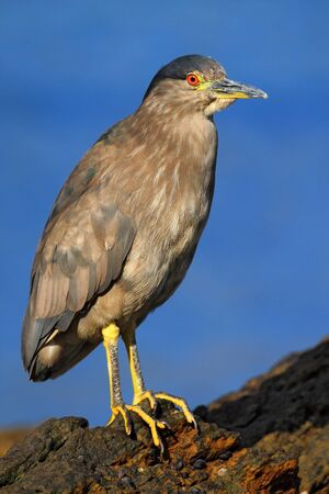 california delta: Night Heron, Nycticorax nycticorax, gray water bird sitting in the stone coast, California, with blue sea in the background, USA Stock Photo