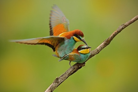 coitus: European Bee-eaters mating on the branch with clesr green and yellow background, Slovakia